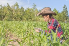 Male farmers are researching and recording the growth of corn on. The farm. Agricultural concept royalty free stock image