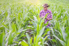 Male farmers are researching and recording the growth of corn on. The farm. Agricultural concept royalty free stock photos