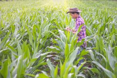 Male farmers are researching and recording the growth of corn on. The farm. Agricultural concept stock images