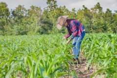 Male farmers are researching and recording the growth of corn on. The farm. Agricultural concept royalty free stock photography