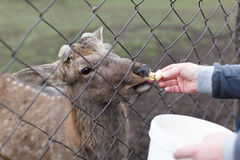 Male feeds young fawn over the net from a bucket. Wildlife Royalty Free Stock Image