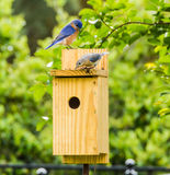 Male and Female Bluebirds royalty free stock photos