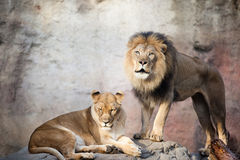 Male & female African Lion Stock Images
