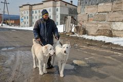 A man is holding puppies Alabai on a leash. Male and female, age 7 months.nAlabai is a Central Asian Turkmen Shepherd. At home, she is used to guard sheep Stock Photos