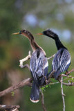 Male and female Anhingas sitting on a tree Royalty Free Stock Image