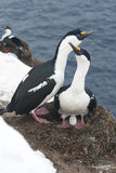 Male and female Antarctic blue-eyed cormorant in the nest. Royalty Free Stock Image