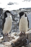 Male and female Antarctic penguin Chinstrap or standing near the Stock Photos