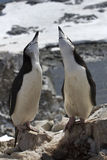 Male and female Antarctic penguin mating season Stock Photo