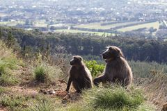 Male and female baboon. Male and female chacma baboon overlooking Cape Town, South Africa Stock Image