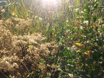 Male and Female Baccharis Halimifolia Plants in the Sun near a Pond in the Fall. Stock Images