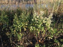 Male and Female Baccharis Halimifolia Plants in the Sun near a Pond in the Fall. Stock Image
