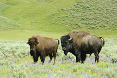 Male & female bison Royalty Free Stock Photos