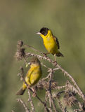 Male and female Black-headed Bunting. Stock Photo