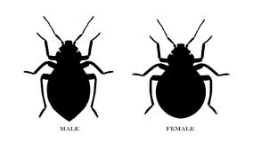 Male and Female Black Illustrated Bedbugs Stock Image