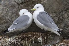 Male and female black-legged kittiwake sitting on the rocks Royalty Free Stock Photo