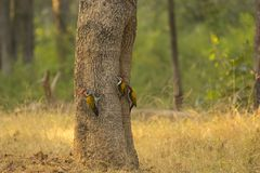 Male and Female Black-Rumped Flameback Woodpeckers. A trio of red-headed woodpeckers, two males and a female, with black eye stripes, white breast with black royalty free stock photo