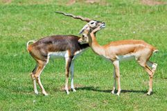 Male and female blackbuck Royalty Free Stock Photo
