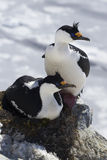 Male and female blue-eyed Antarctic cormorant sitting in a  nest Royalty Free Stock Photo