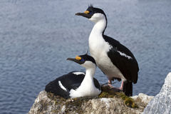 Male and female blue-eyed Antarctic shag at the nest in the colo Stock Photo