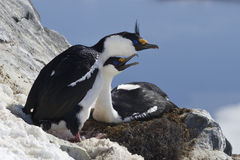 Male and female blue-eyed Antarctic shag sitting in a nest on th Stock Photography