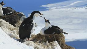 Male and female blue-eyed cormorant Antarctic near nest stock video footage