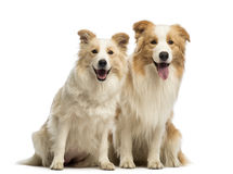Male and female Border Collie, 1.5 years old and 2.5 years old, sitting, panting and looking at the camera Stock Images