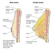 Male and female breast anatomy. Drawing of the anatomy of the male and female breast Stock Images