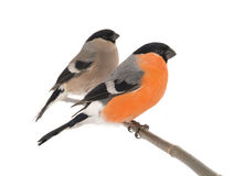 Male and female bullfinch Royalty Free Stock Photos