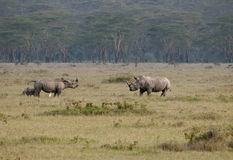 Male female and calf rhinos, Nakuru, Kenya. Royalty Free Stock Photos