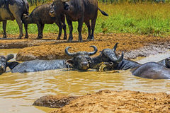Male and Female Cape Buffalo in a Water Hole Stock Photography