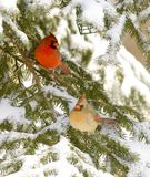 Male and female cardinal. A male and female cardinal sit in an evergreen tree following a snowstorm Royalty Free Stock Images