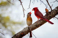 Male and Female Cardinal Birds on a Limb Royalty Free Stock Photography