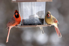 Male and Female cardinals. Bird feeder in winter feeding on black-oil sunflower seeds Royalty Free Stock Image