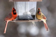 Male and Female cardinals. Bird feeder in winter feeding on black-oil sunflower seeds Royalty Free Stock Images