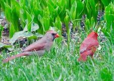 Cardinal pair on the ground stock photography