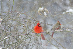 Male and female Cardinals in snowstorm. Pair of Redbirds perch on a branch in a snowstorm Royalty Free Stock Image