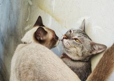 The male and female cats are kissing each other near the old plaster wall, candid. love of animal concept. royalty free stock images