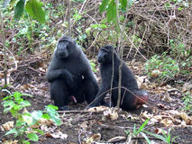 Male and female Celebes black macaque Royalty Free Stock Photography