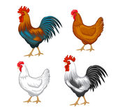 Male and female chickens set. Chickens set vector illustration in Color. Brown and white Hen and Rooster. Male and female chickens set Royalty Free Stock Images
