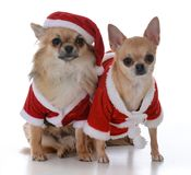 Male and female chiuhuahua at christmas Stock Images