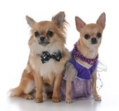 Male and female chiuhuahua Stock Images