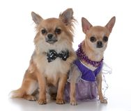 Male and female chiuhuahua. Long haired  male and short haired female chiuhuahua on white background Stock Photography