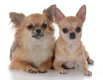 Male and female chiuhuahua. Long haired  male and short haired female chiuhuahua on white background Royalty Free Stock Photo