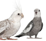 Male and female Cockatiel, Nymphicus Stock Photo