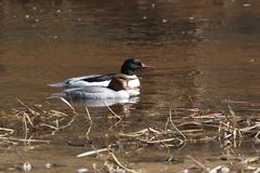 A male and female common merganser couple. In a river, Europe stock images