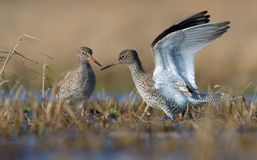 Male and female Common redshanks stands together in small overgrown lake with upright lifted position of wings and beaks very clos. Male and female Common royalty free stock photography