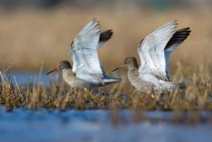Male and female common redshanks with lifted wings together walk through spring waterpond rank with grass royalty free stock photography