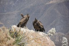 Pair of condors in Peru / Colca Canyon royalty free stock images