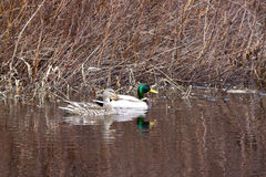 Mallard couple in water. Royalty Free Stock Photo