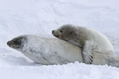 Male and female crabeater seal during the breeding Royalty Free Stock Photo